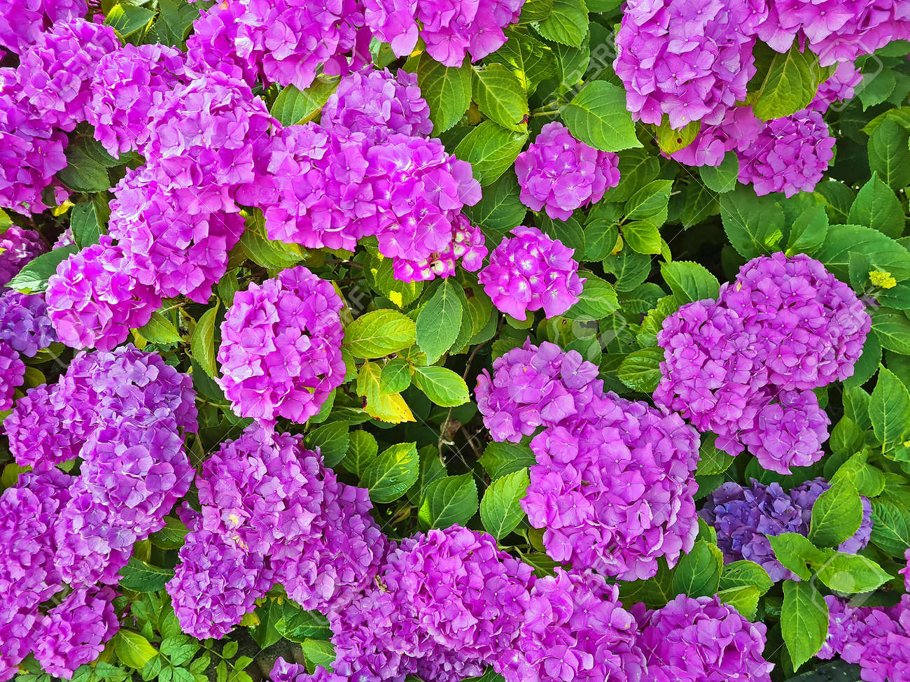 Purple hydrangea flowers in summer - 173297936