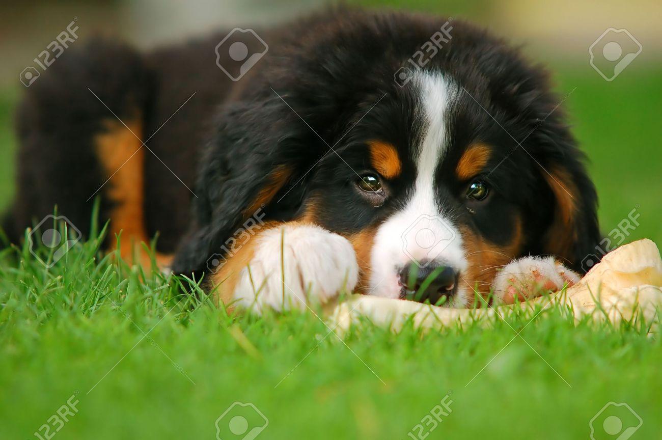 A trustful friend. Portrait of puppy Bernese mountain dog Stock Photo - 1118360