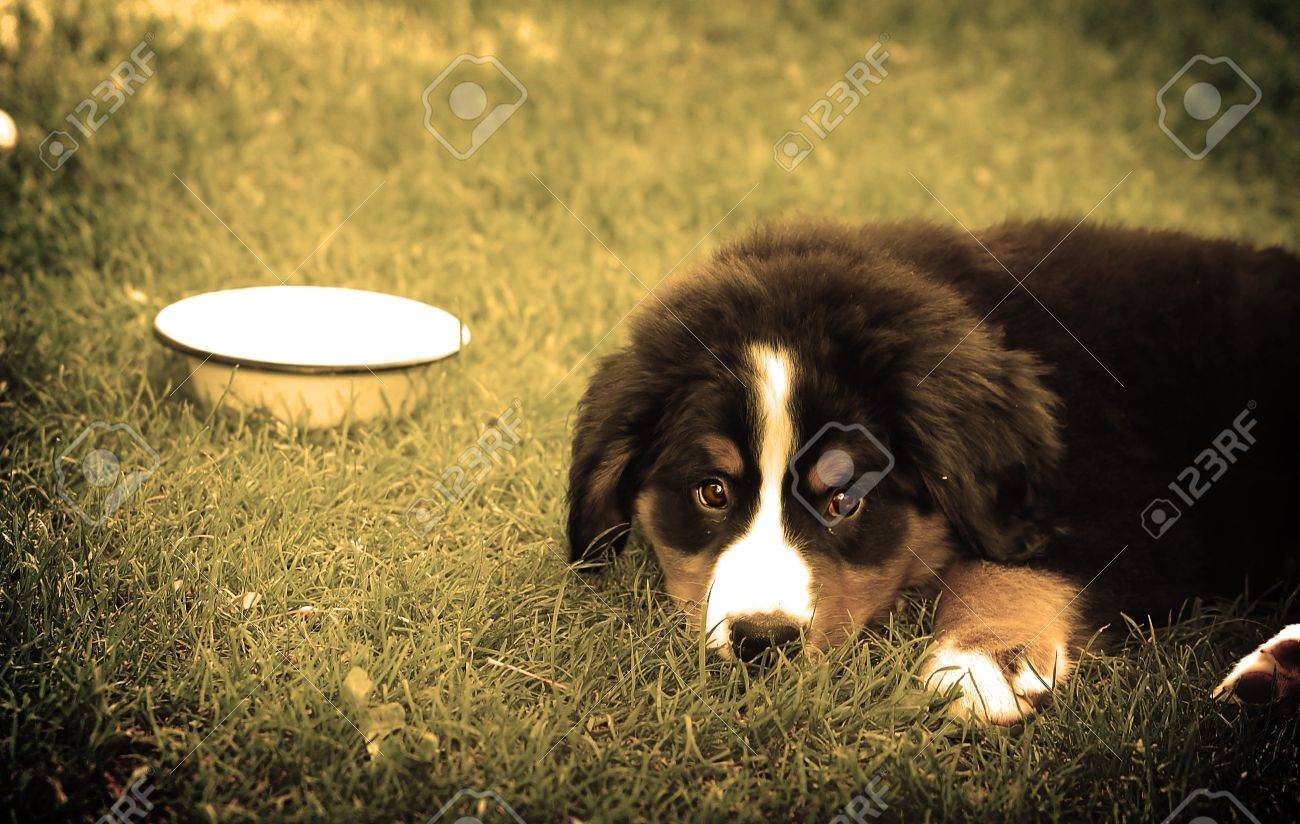 A trustful friend. Portrait of puppy Bernese mountain dog Stock Photo - 1118361