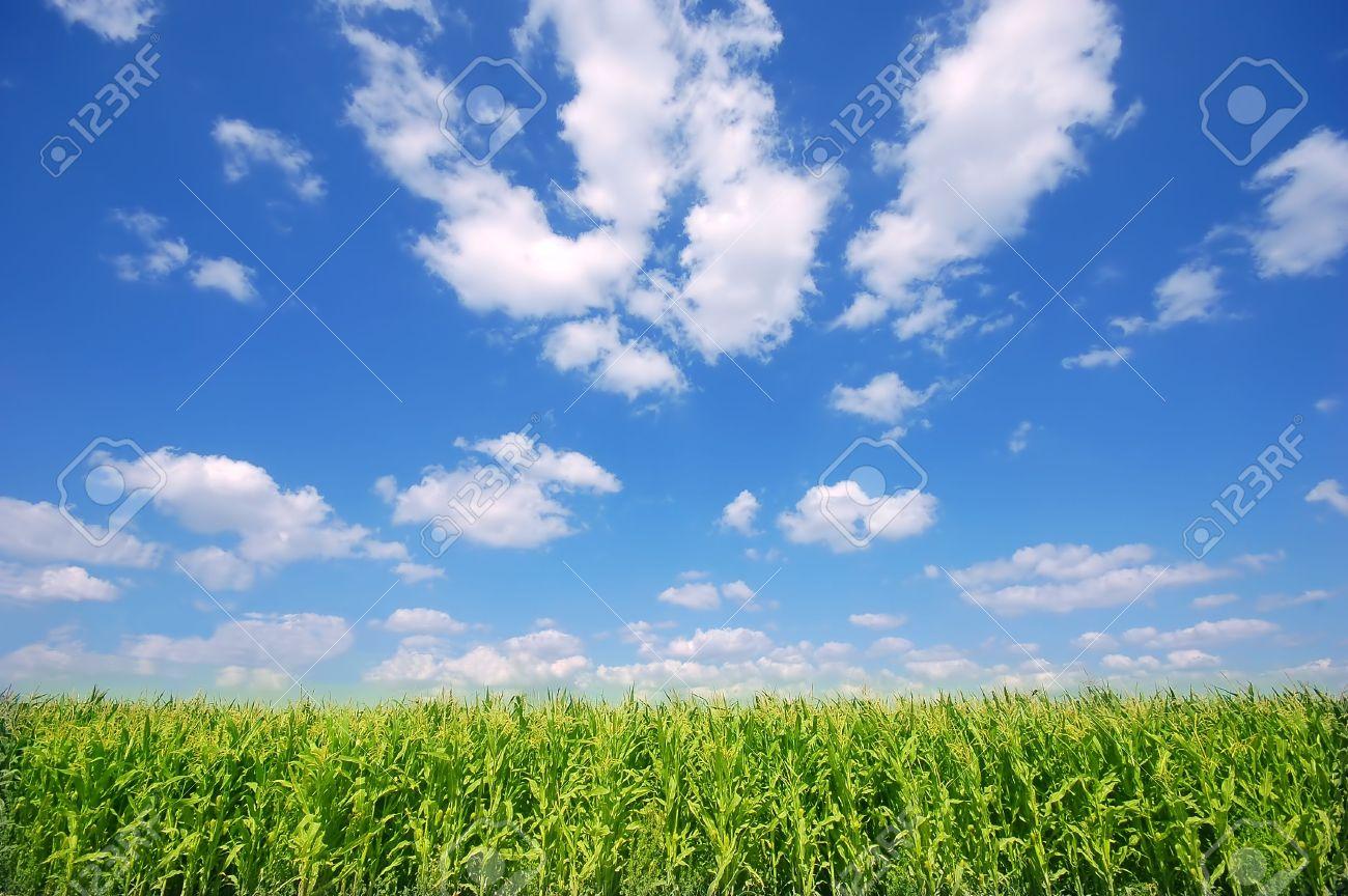 Fresh green corn field on bright blue sunny sky background Stock Photo - 1895406