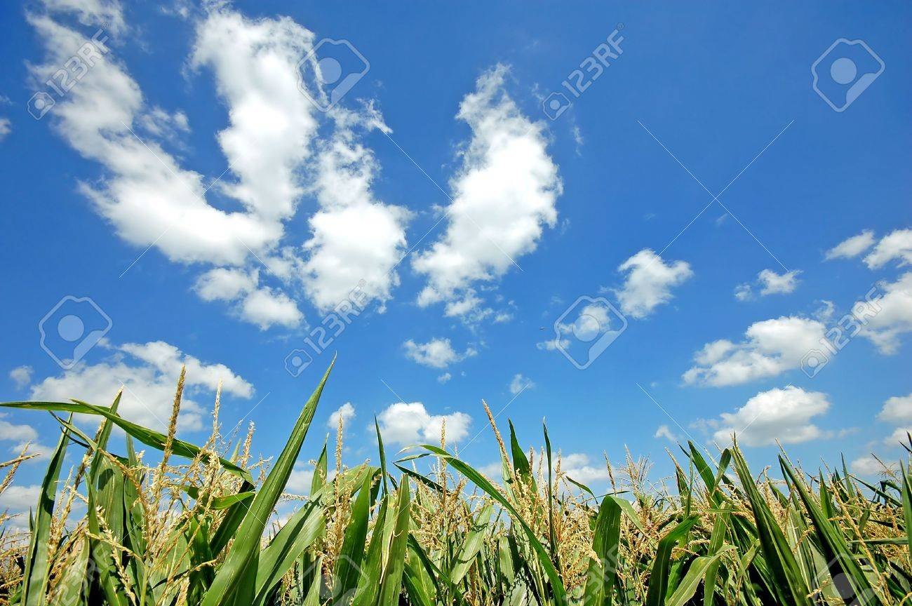 Fresh green corn field on bright blue sunny sky background Stock Photo - 1895405