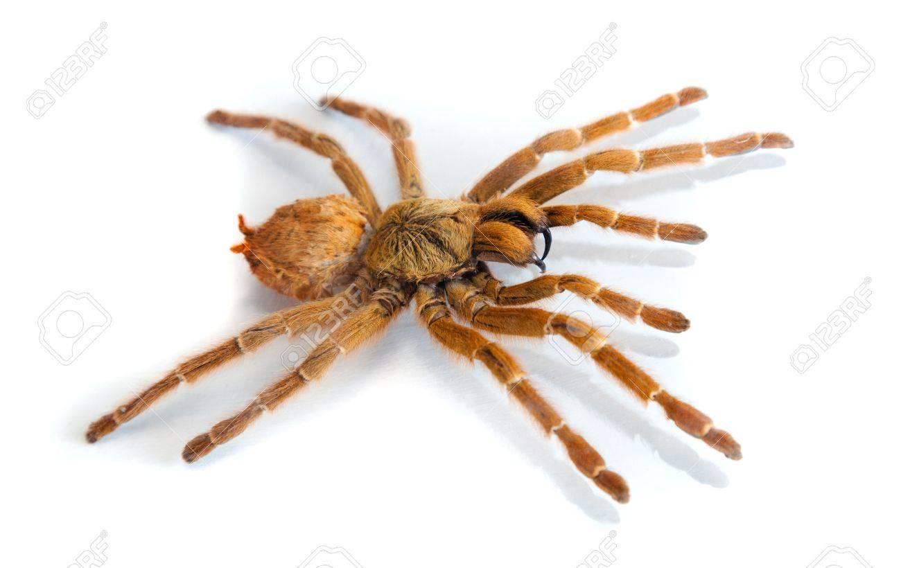 Big hairy spider isolated on white Stock Photo - 11696677