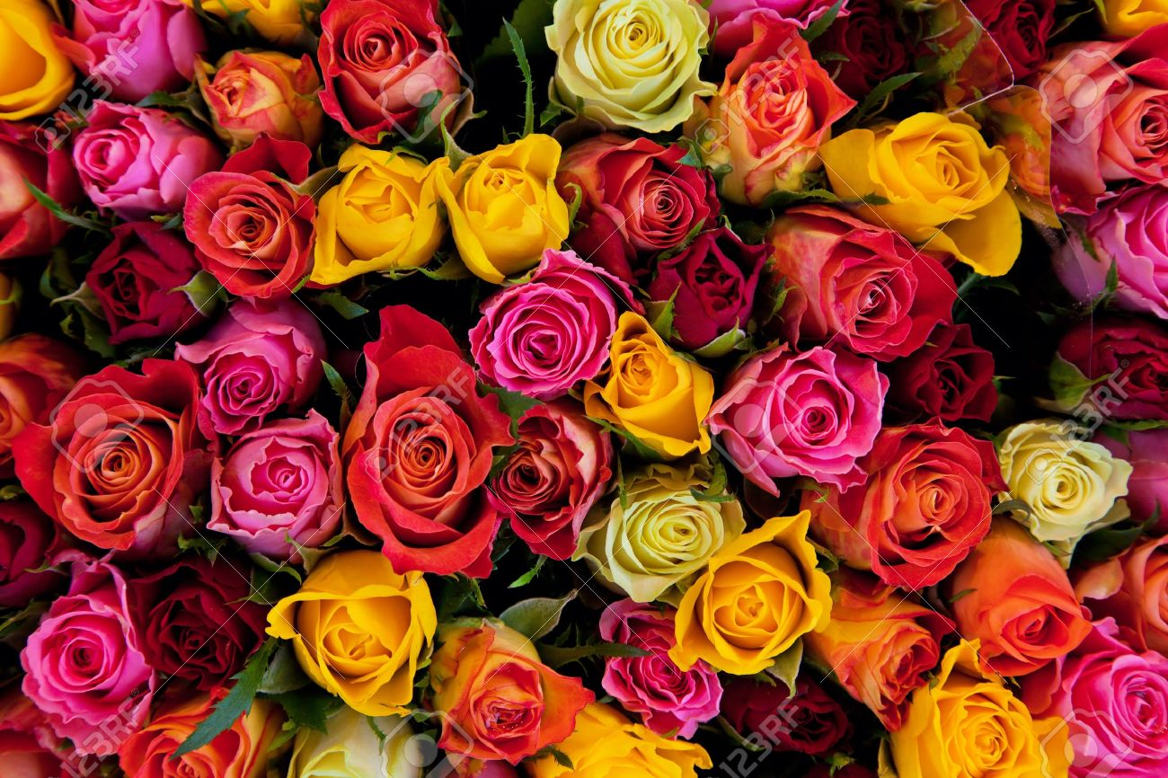 Colorful roses background. Beautiful, high quality, good for holidays, valentines's gift. Stock Photo - 13718467