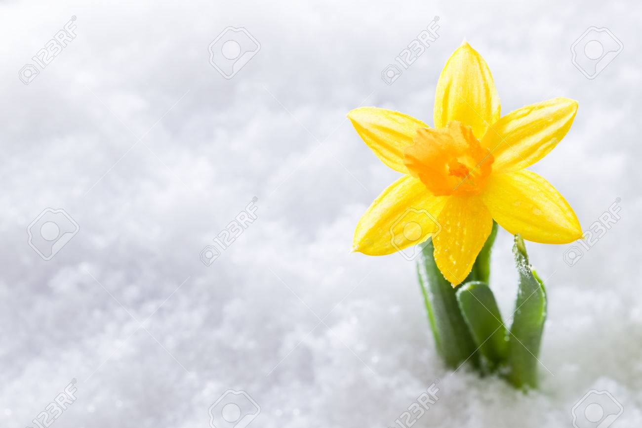 Crocus Flower Growing Form Snow The Beginning Of Spring Nature