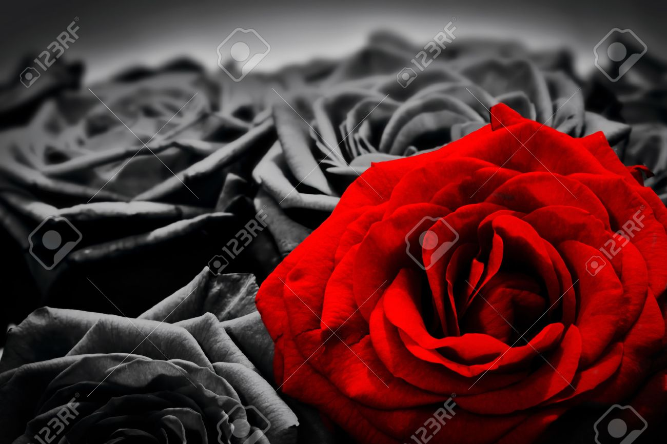 Romantic greeting card of red rose against black and white roses valentines day mothers
