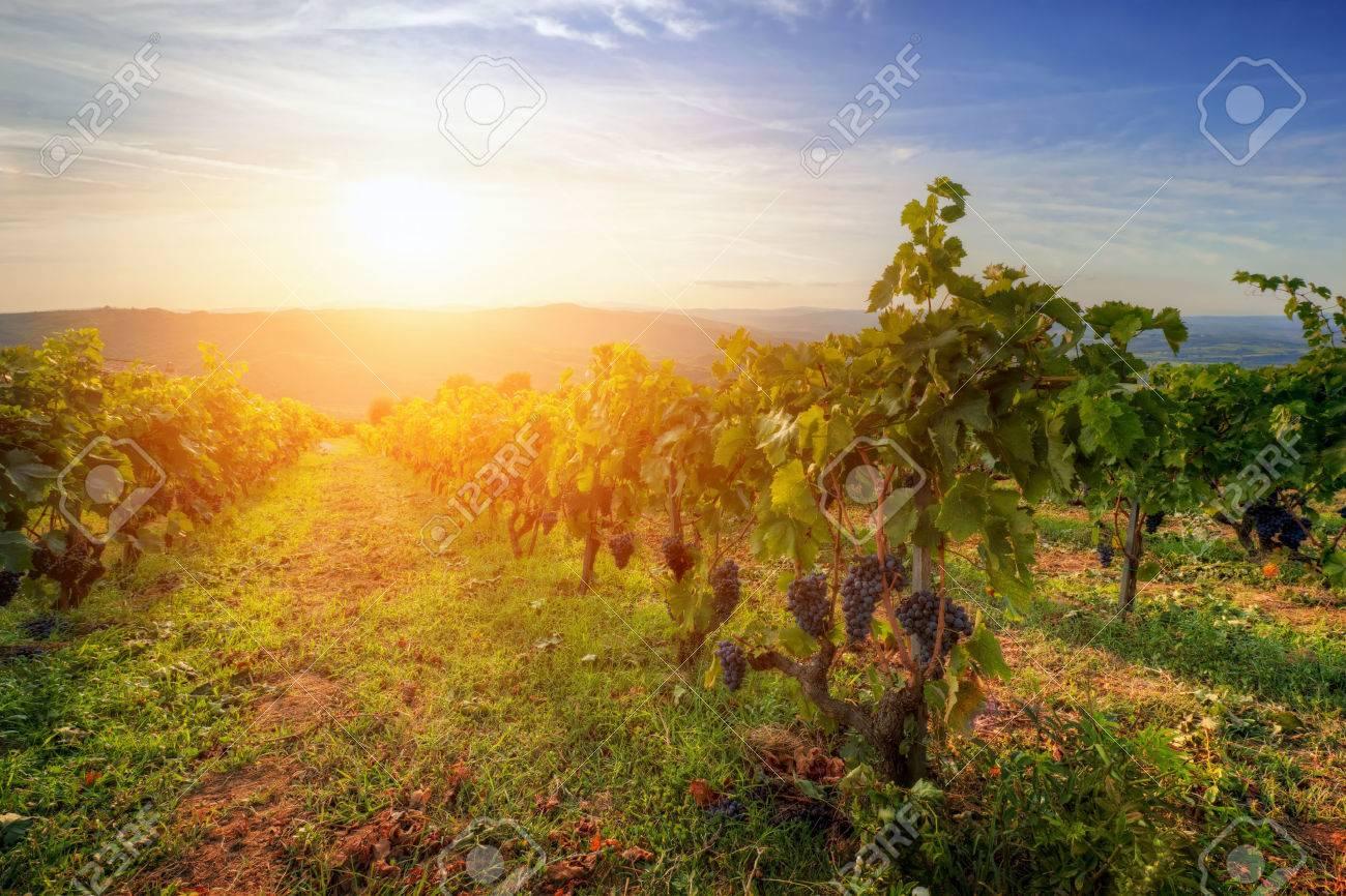 Famous Italian Vineyard