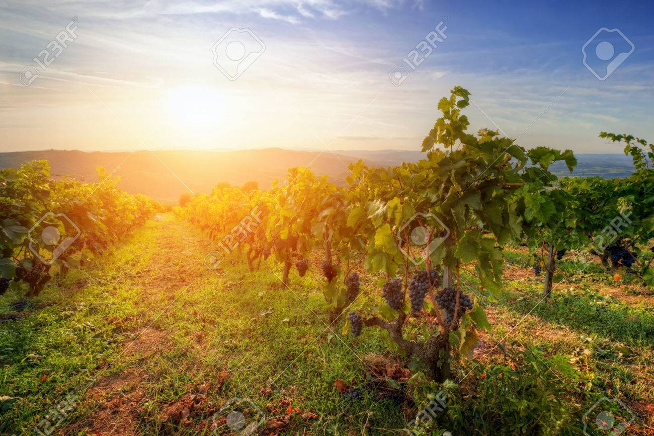 Vineyard in Tuscany, Italy  Picturesque wine farm at sunset