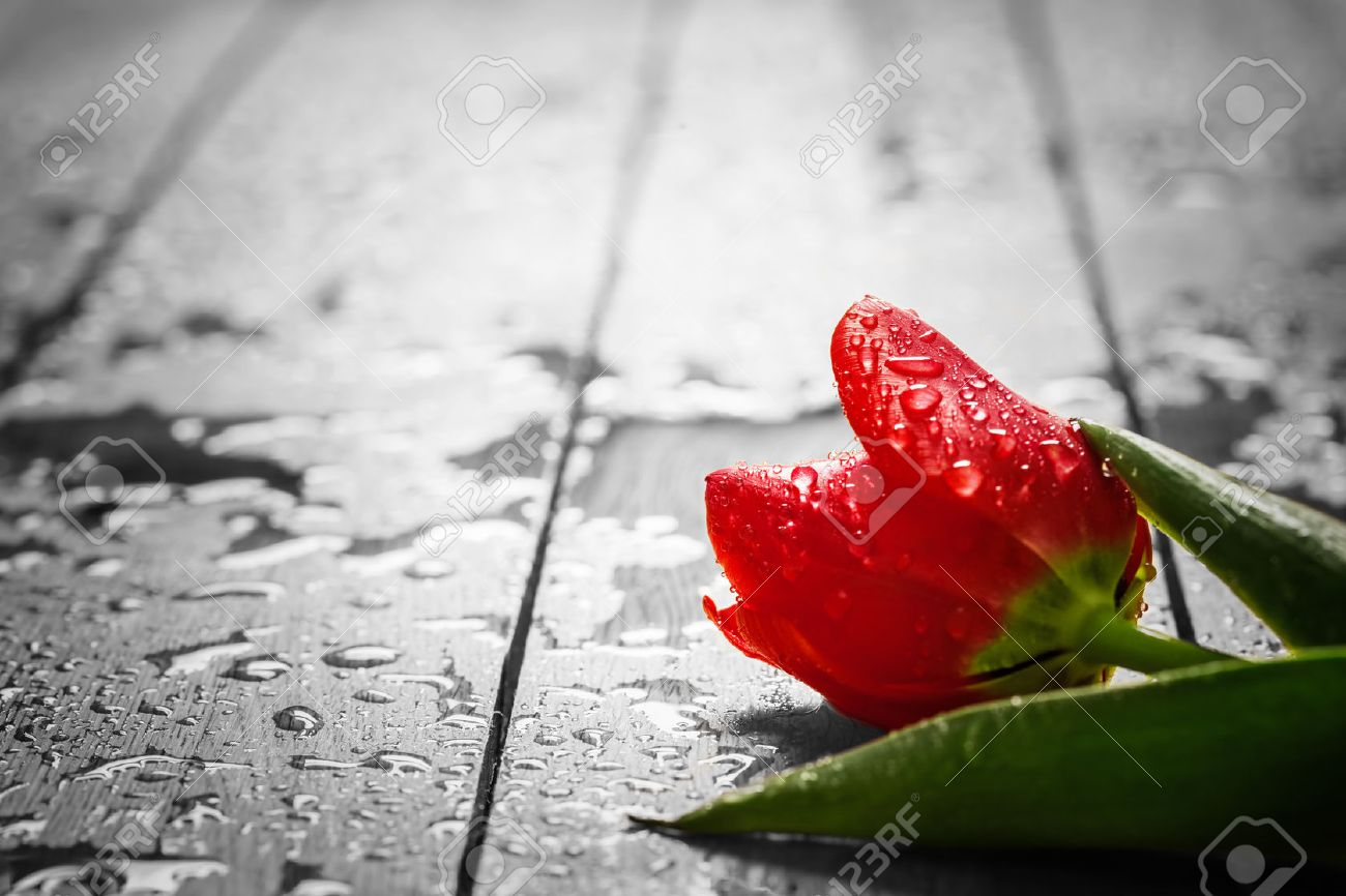 Fresh red tulip flower on wood. Wet, morning dew. Spring concept of romantic love, Valentine's Day, but may also be heartbreak Stock Photo - 52511610