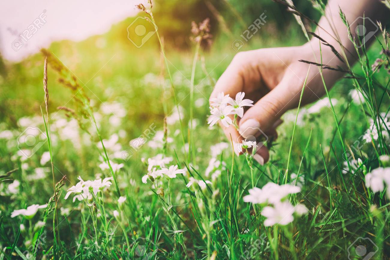 Woman picking up flowers on a meadow, hand close-up. Morning light, green grass. Vintage Stock Photo - 61711236