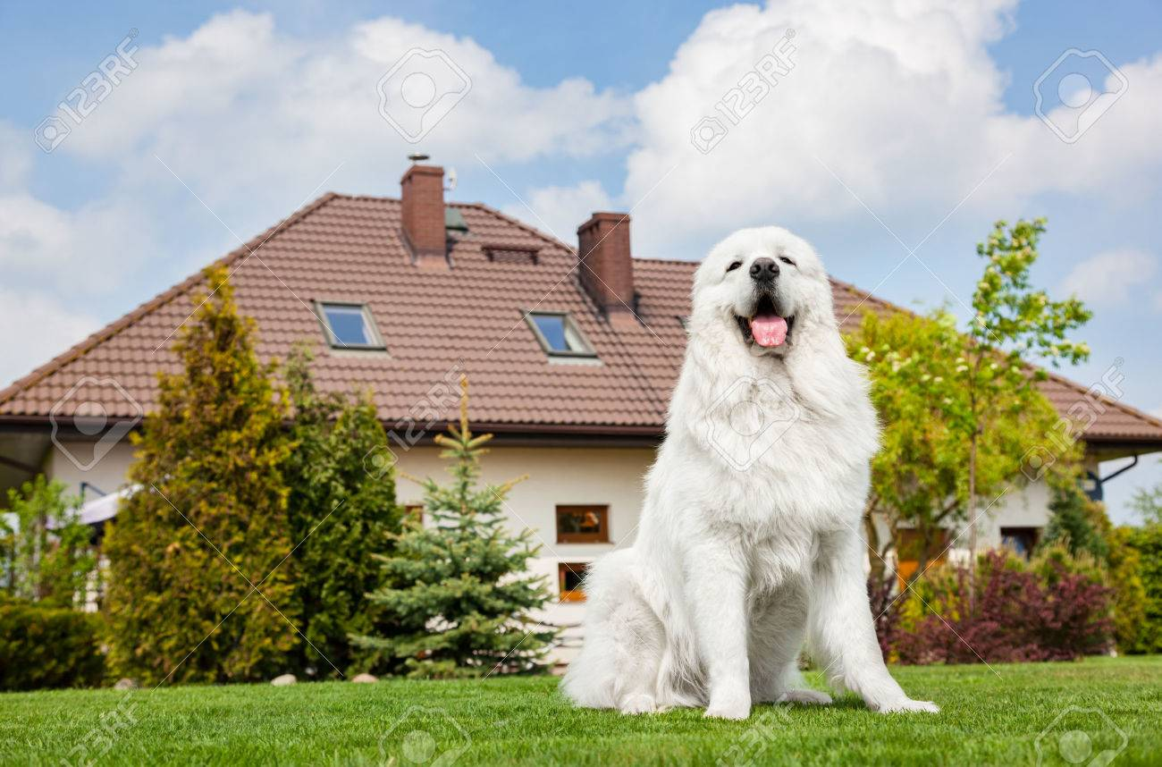 Big guard dog sitting in front of the house. Polish Tatra Sheepdog also known as Podhalan or Owczarek Podhalanski Standard-Bild - 61712983
