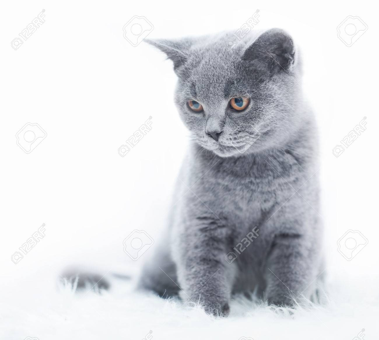 Young cute cat resting on white fur. The British Shorthair pedigreed..