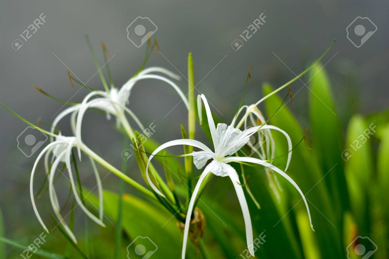White spider lily flower grows naturally stock photo picture and white spider lily flower grows naturally stock photo 80747642 izmirmasajfo Image collections
