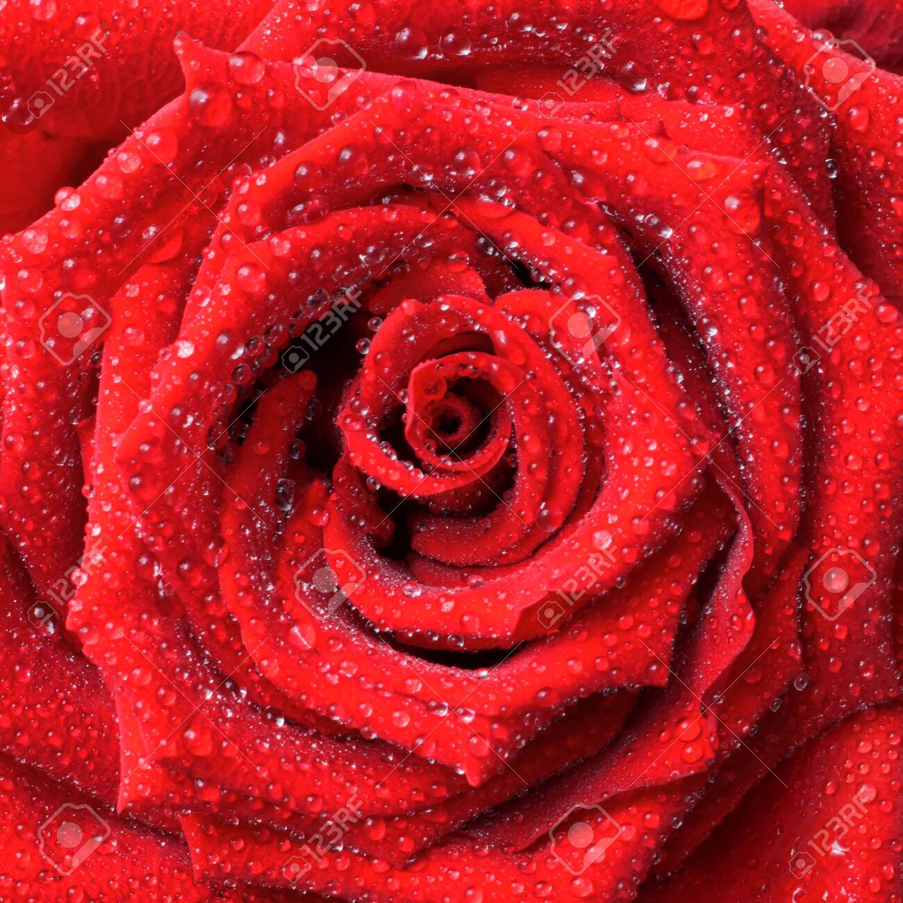 lush red rose with dew drops background - 135487227