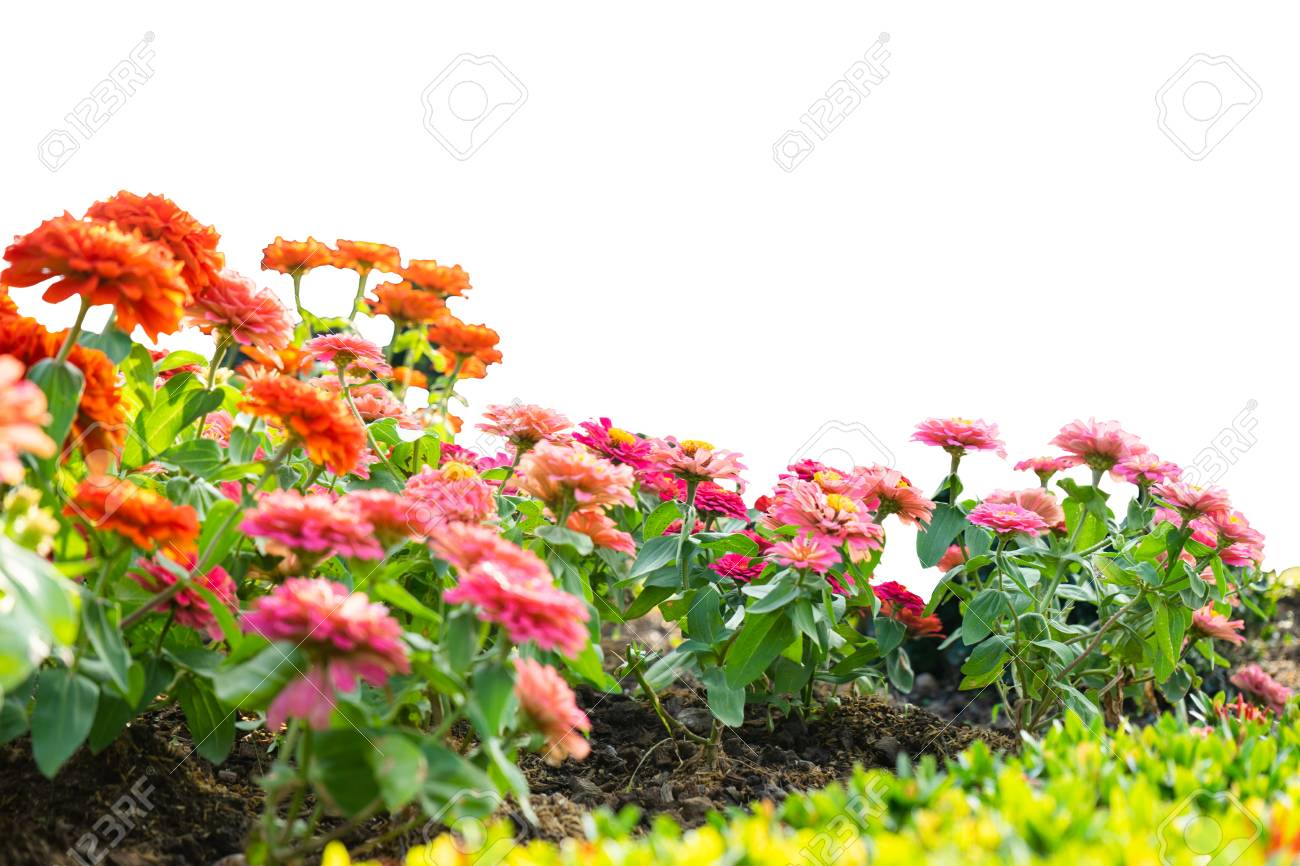 gerbera flower garden isolated on white background stock photo picture and royalty free image image 110573294 123rf com