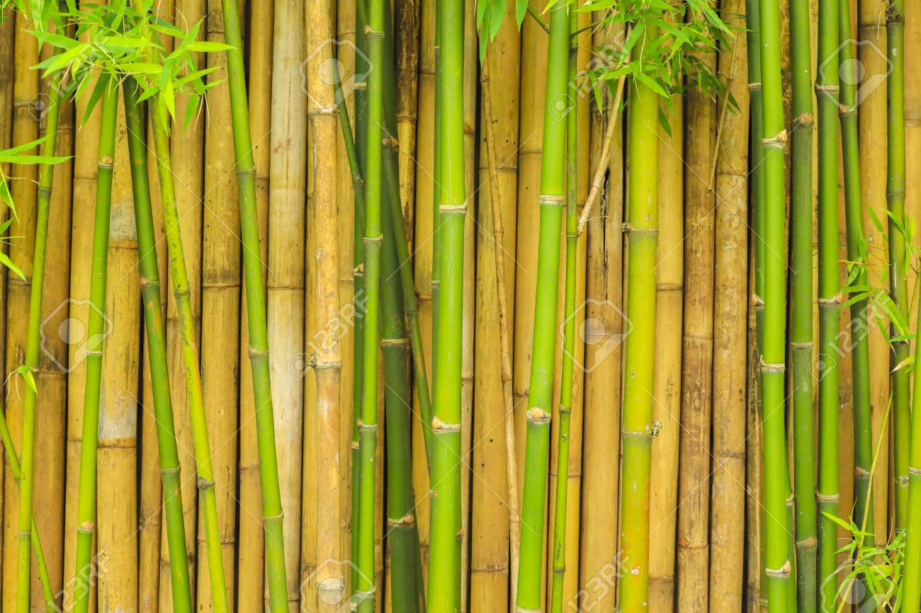 Bamboo Tree Wall For Natural Background Stock Photo Picture And