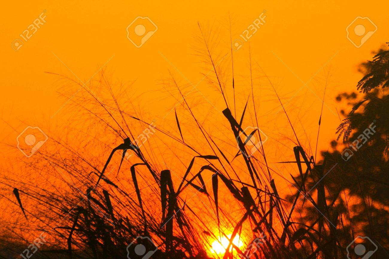 Picture of beautiful flower grass and sunrise Stock Photo - 21809141