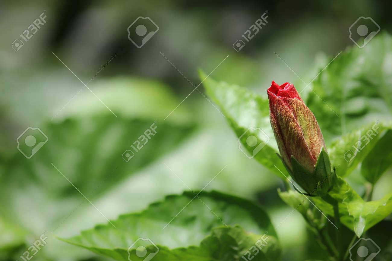 Close Up Of Bud Red Hibiscus Flower Stock Photo Picture And Royalty