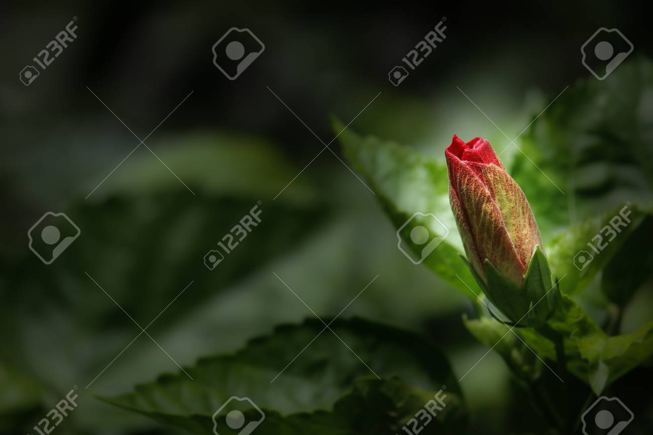 Close up of bud red hibiscus flower stock photo picture and royalty close up of bud red hibiscus flower stock photo 59801027 izmirmasajfo