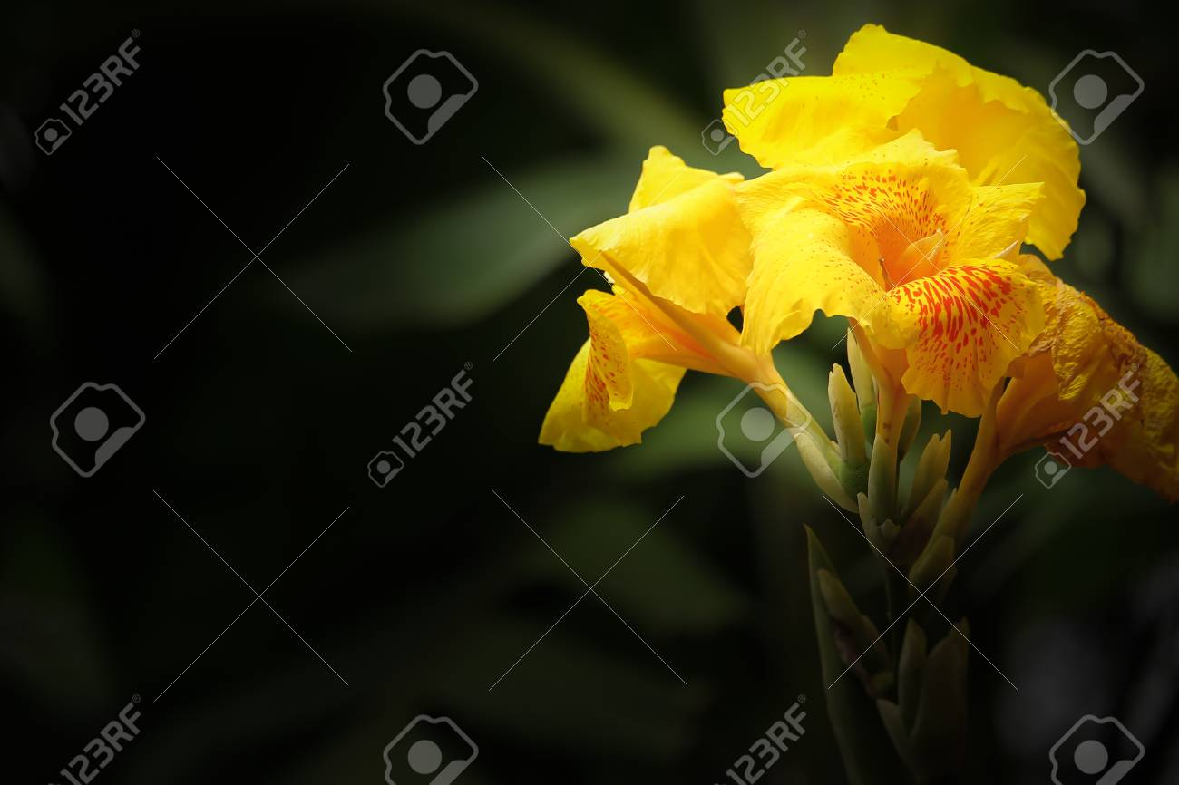 Close Up Of Yellow Canna Flower Stock Photo Picture And Royalty