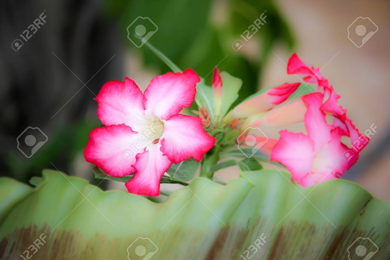 Close Up Of Pink Desert Rose Flowers Stock Photo Picture And
