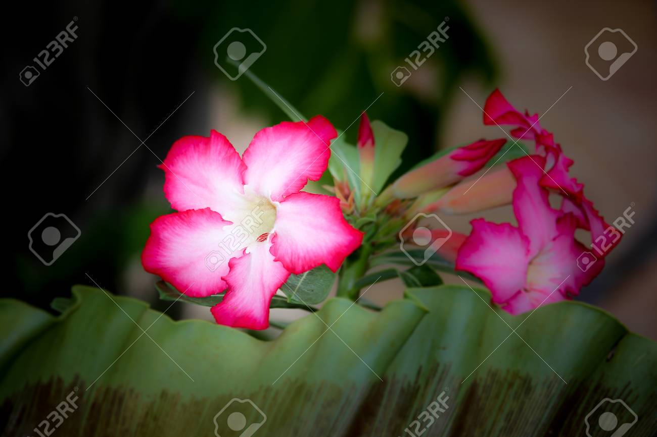 Close up of pink desert rose flowers stock photo picture and close up of pink desert rose flowers stock photo 60552746 mightylinksfo