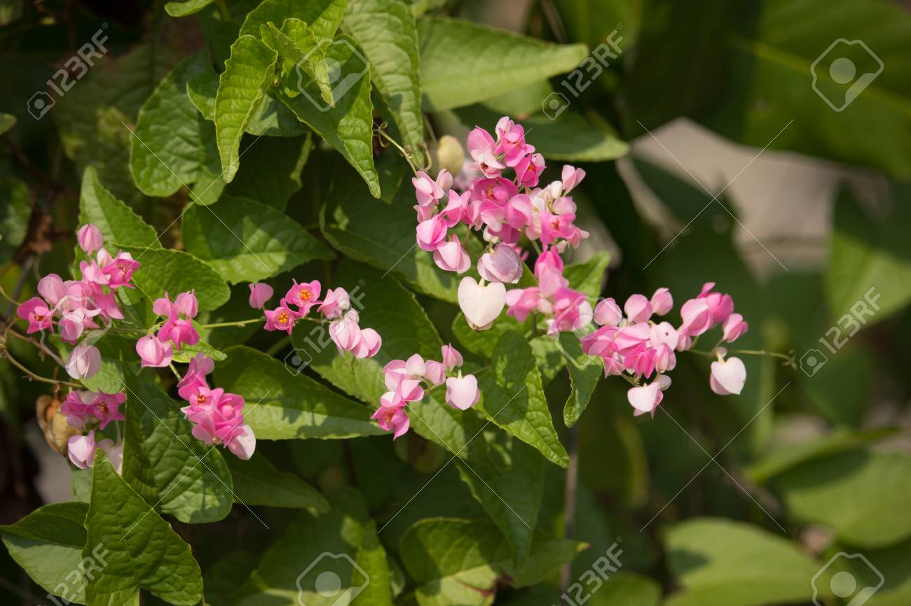 Close up of small pink mix white flower mexican creeper flower close up of small pink mix white flower mexican creeper flower stock photo 72952655 mightylinksfo