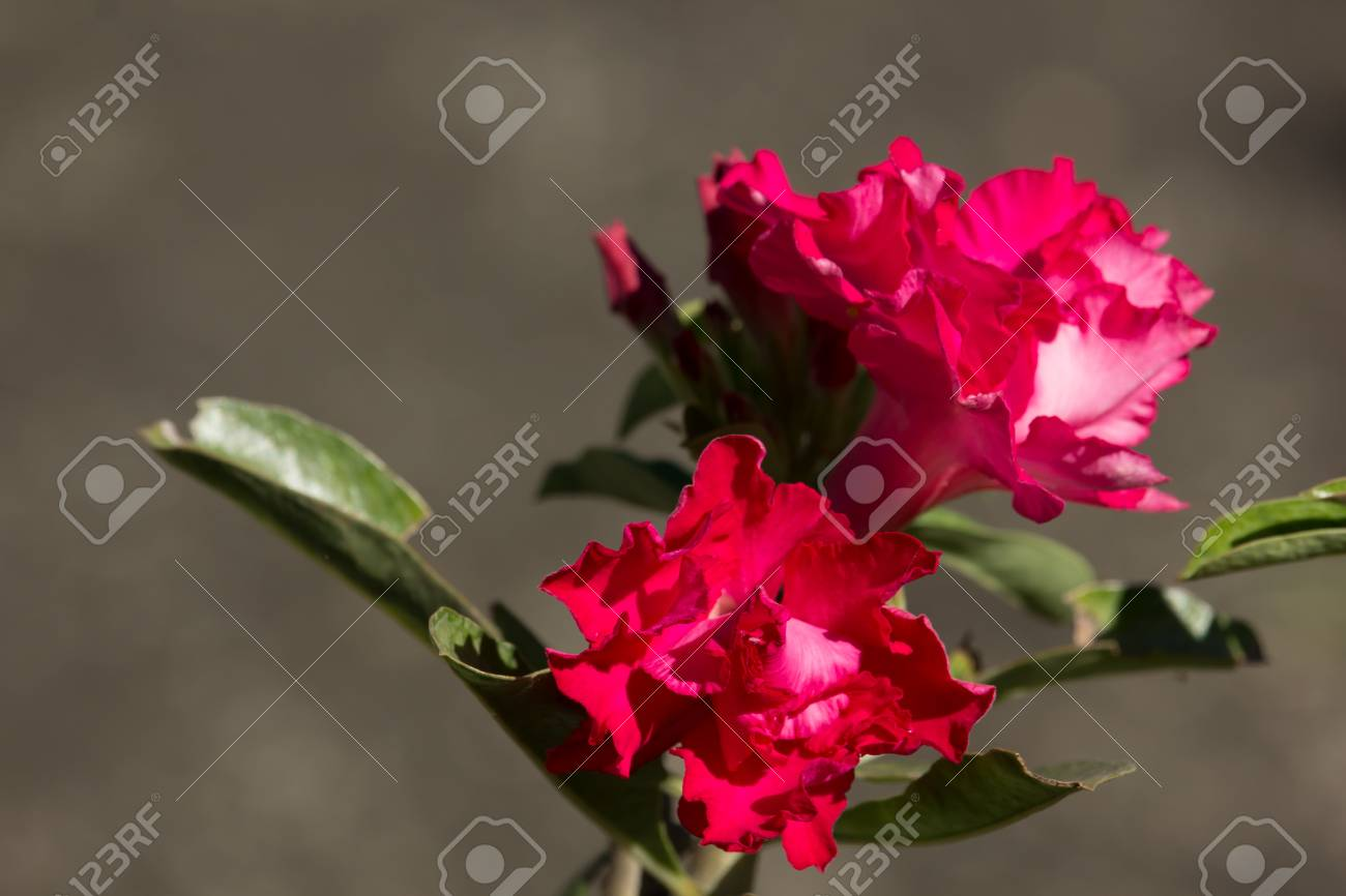 Close Up Of Soft Pink Desert Rose Flowers Stock Photo Picture And