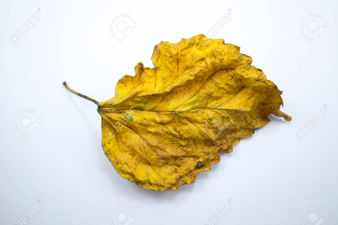 Close Up Dry Leaf Of Chinese Hibiscus Flower Isolated Stock Photo