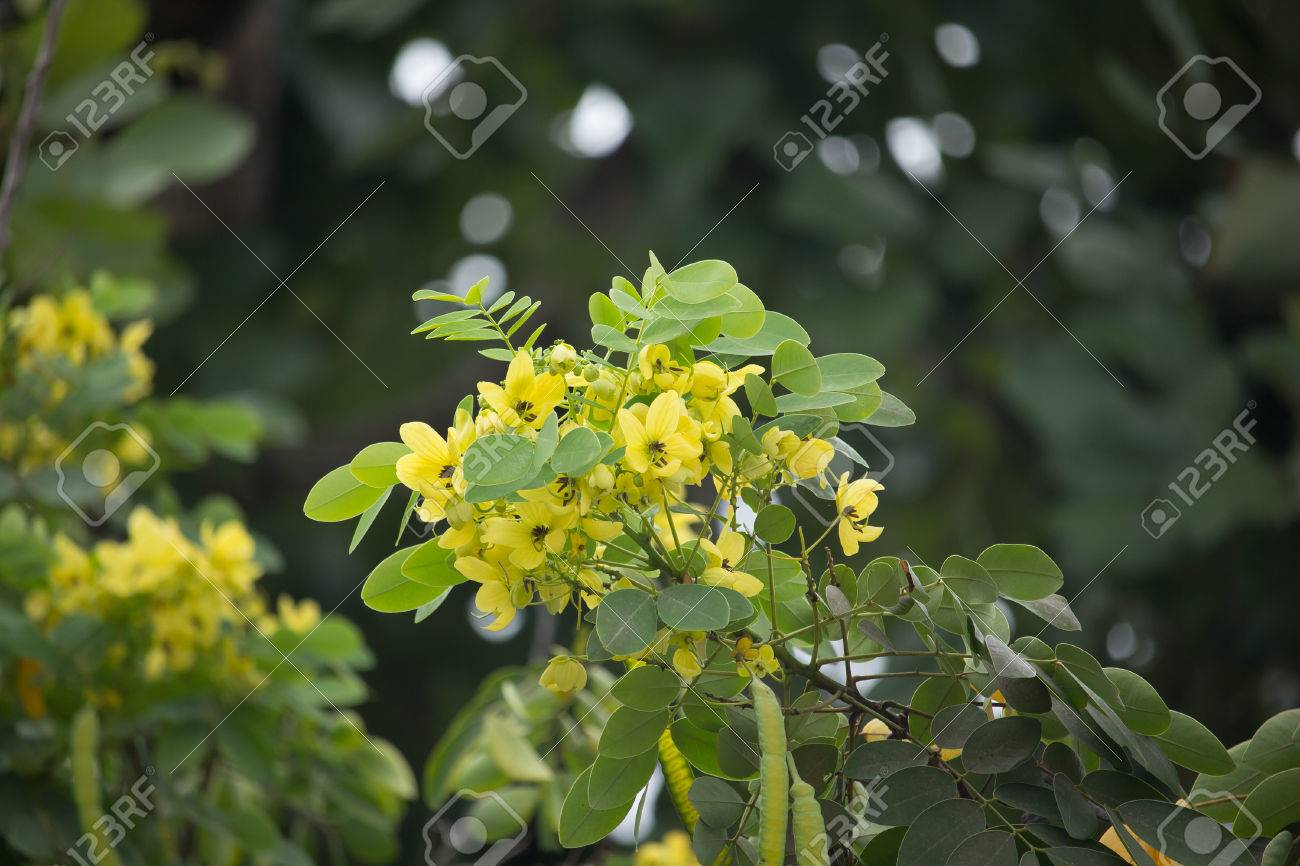 Close up yellow flower of thai copper pod or cassod tree stock photo close up yellow flower of thai copper pod or cassod tree stock photo 85118784 mightylinksfo