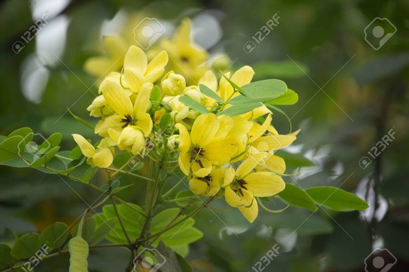 Close Up Yellow Flower Of Thai Copper Pod Or Cassod Tree Stock Photo