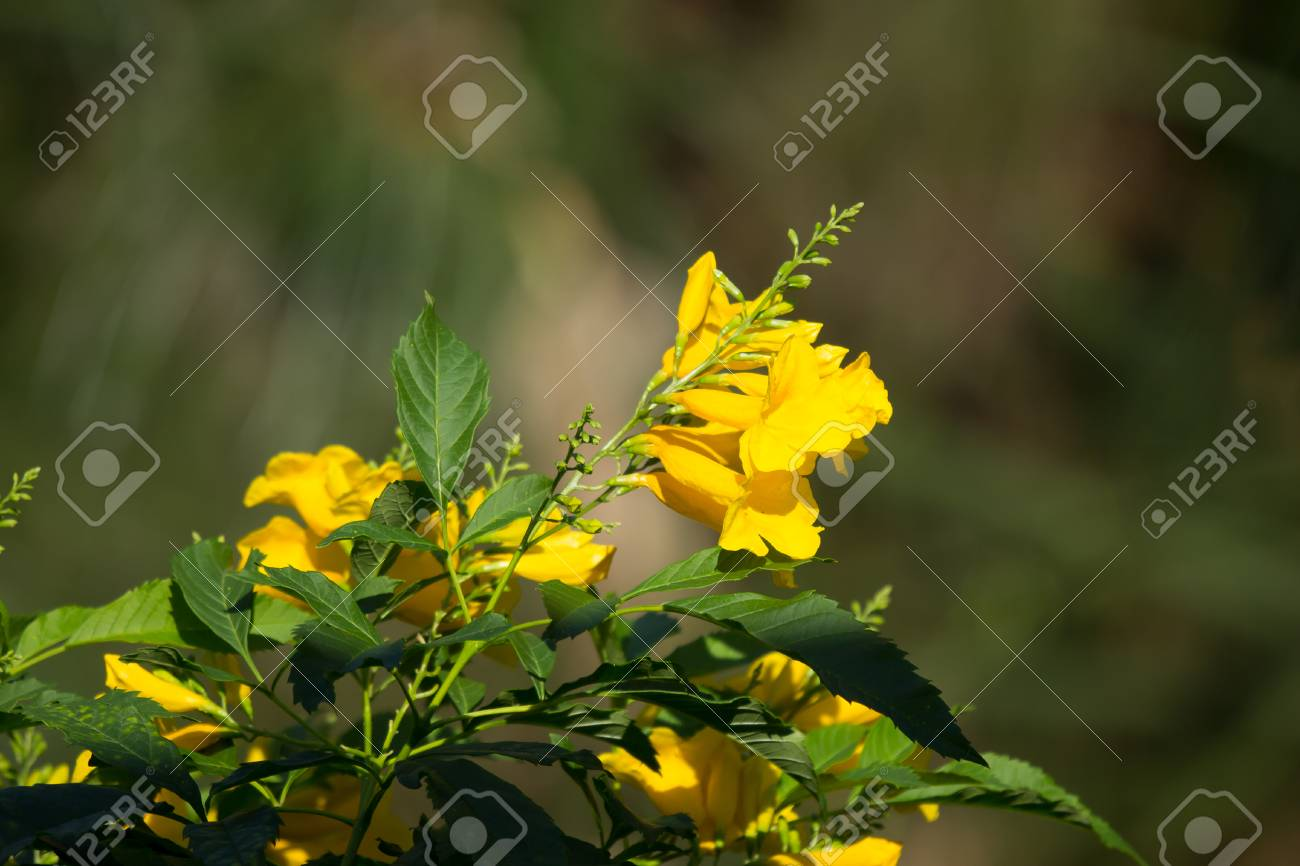 Close Up Of Yellow Flower Yellow Elder Yellow Bells Or