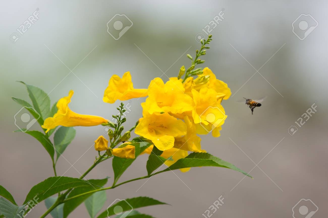 Scientific Name Of Yellow Bell Flower Choice Image Flower