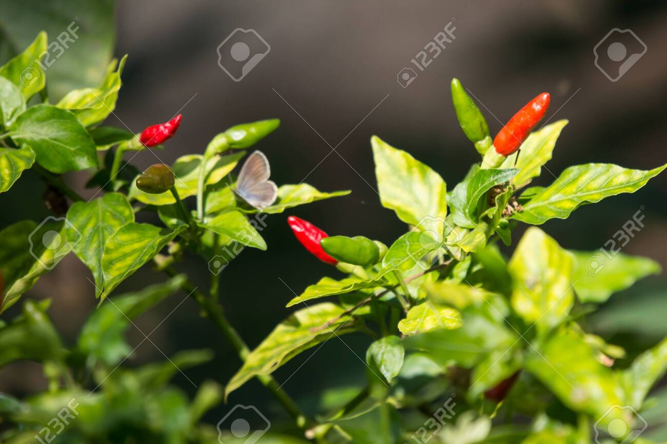 Chilli Padi Or Bird S Eye Chilli Or Bird Chilli Or Thai Pepper Stock Photo Picture And Royalty Free Image Image 136479127