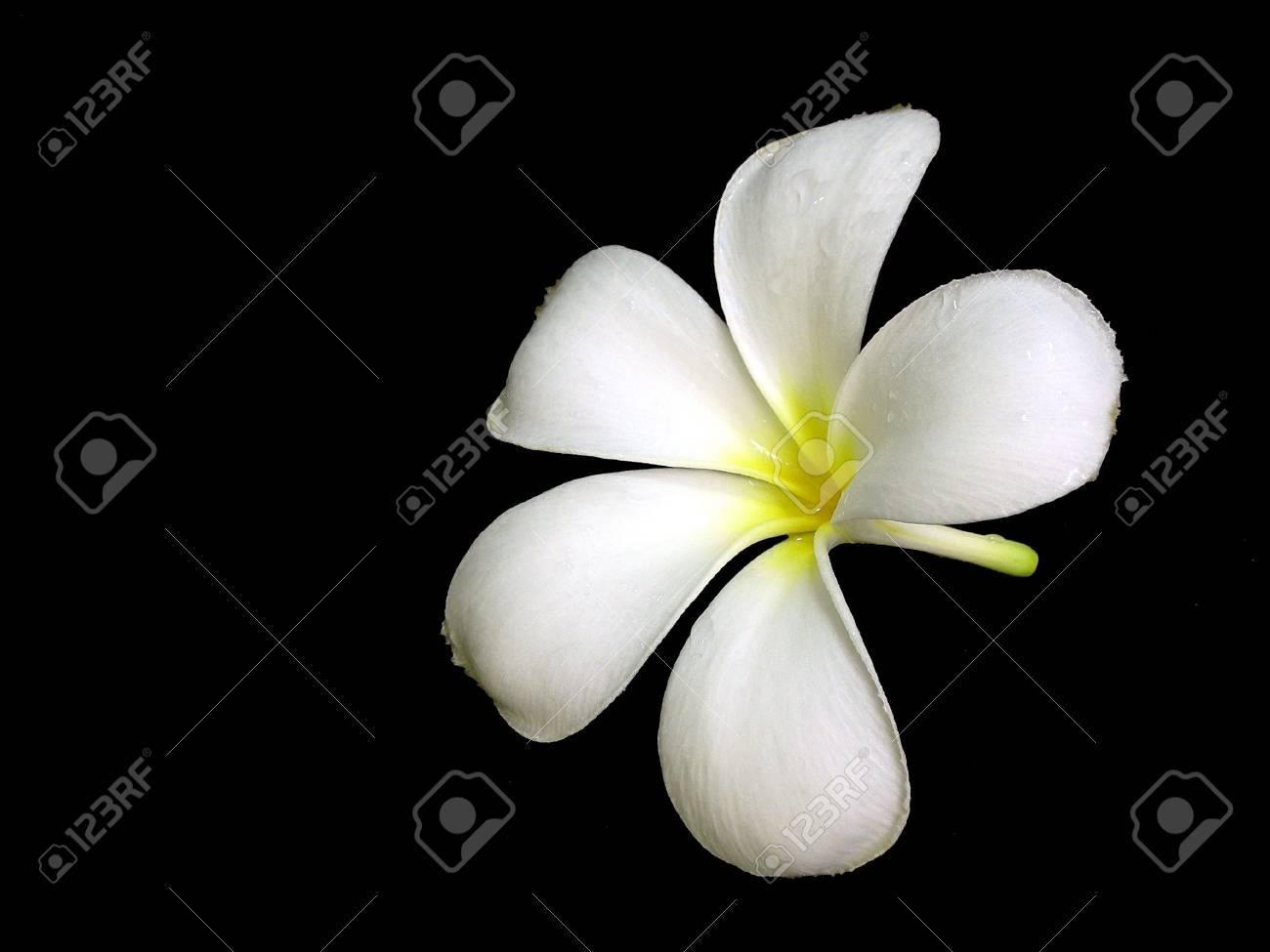 Plumeria (Frangipani) Flower Stock Photo - 526461