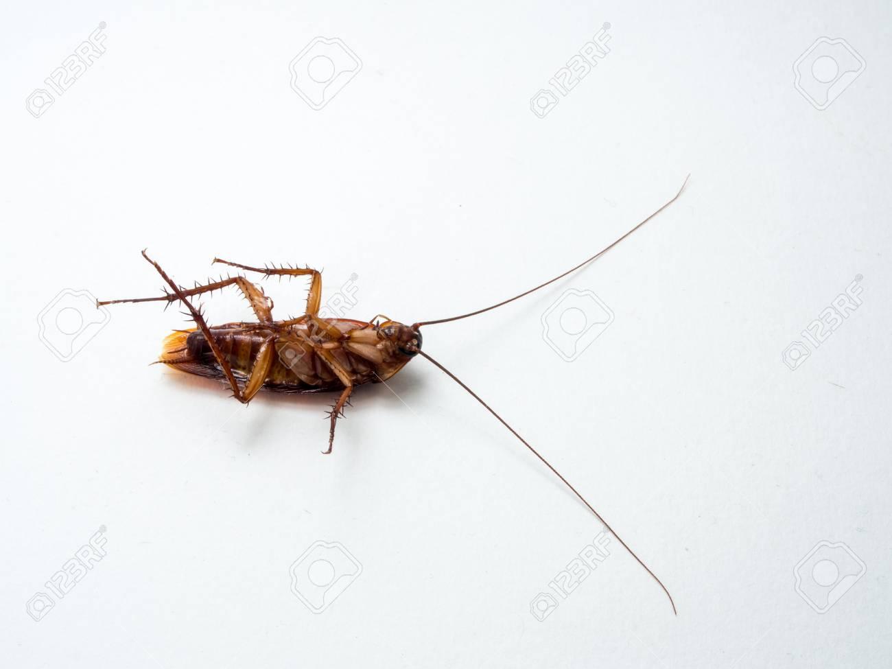 Blatte De Cuisine Photo les blattes sont porteurs de maladies que vous devez éliminer avant que  vous êtes infecté par un grand nombre de blattes. cuisine cockroaches  invasion