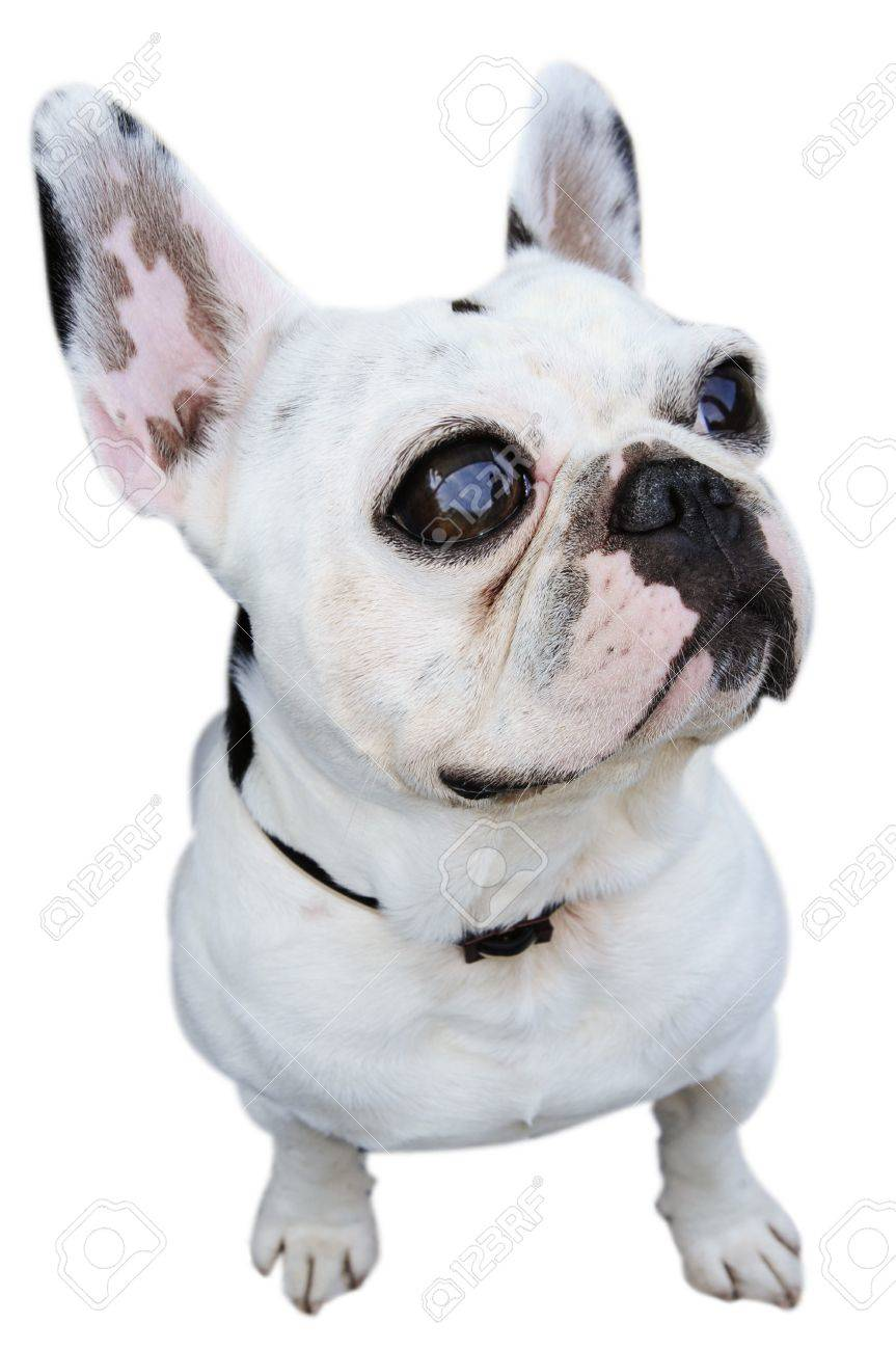 a humorous pciture of an english bulldog isolated on a white background Stock Photo - 7356077