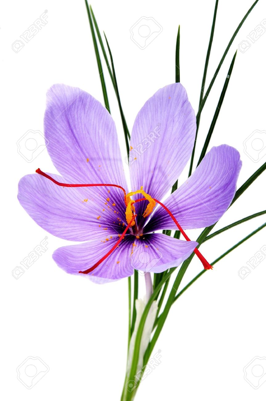 a saffron flower isoalted on a white background Stock Photo - 8708572