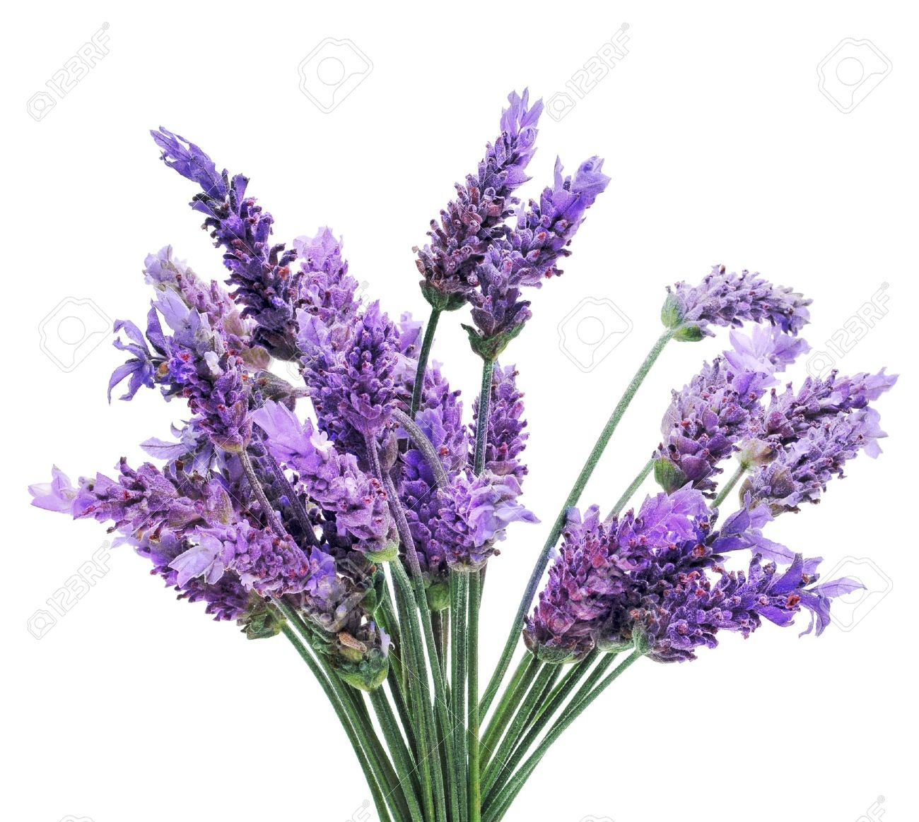 a bunch of lavender flowers on a white background stock photo, Beautiful flower
