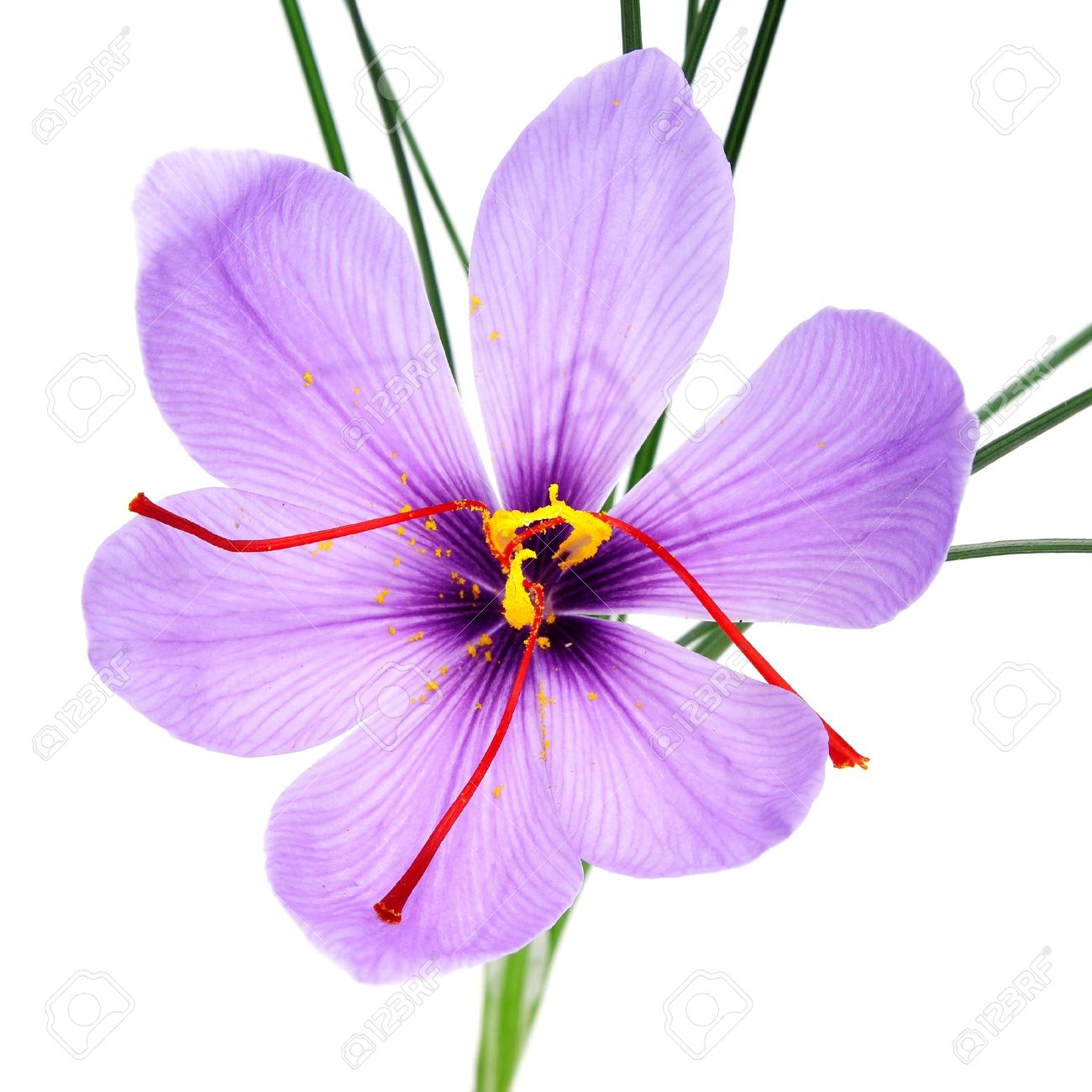 A Saffron Flower On A White Background Stock Photo Picture And