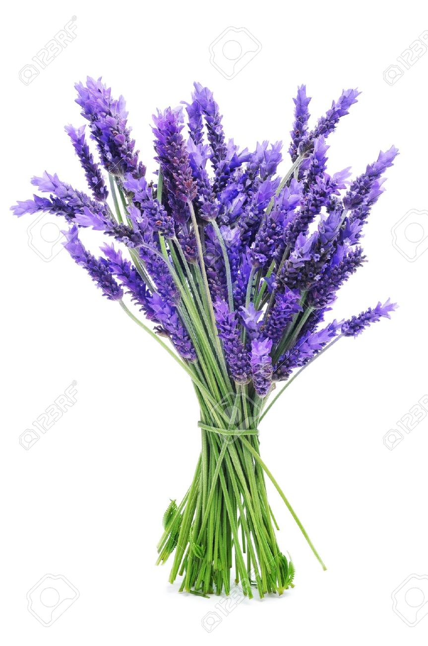 A Bunch Of Lavender On A White Background Stock Photo, Picture And ...