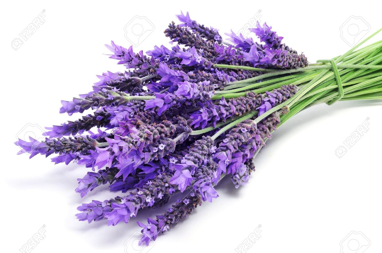 lavender flower stock photos  pictures. royalty free lavender, Beautiful flower