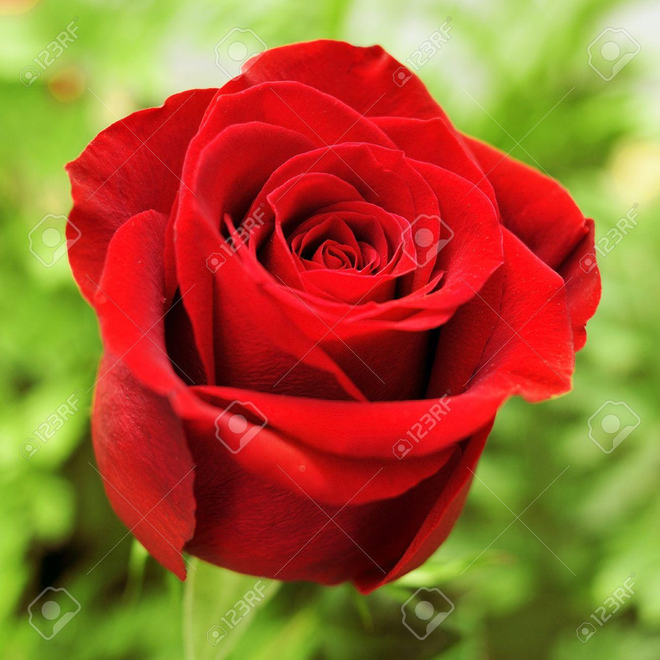Primer Plano De Una Hermosa Rosa Roja En Un Jardín Fotos Retratos