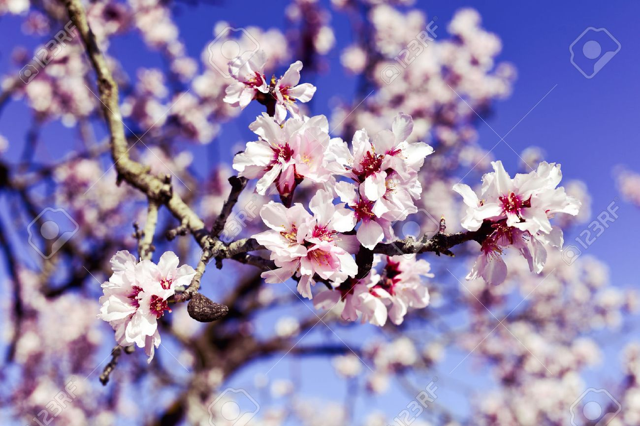 closeup of the branch of an almond tree in full bloom, with many nice pink flowers Banque d'images - 52797744