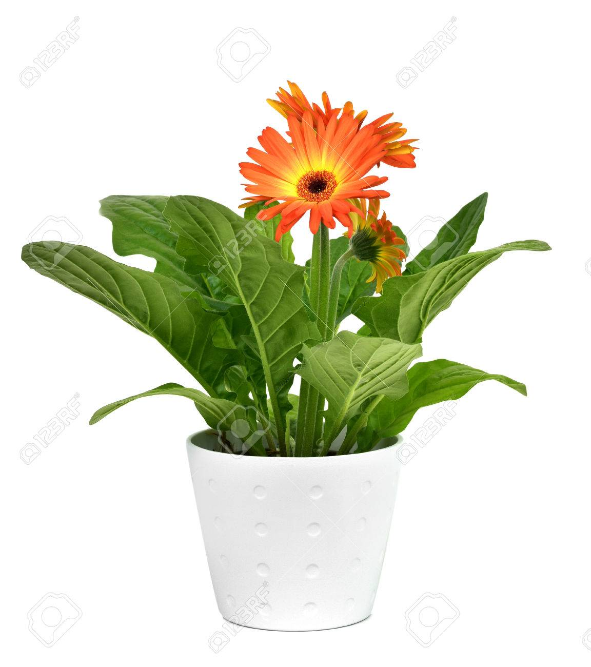 Primer Plano De Una Planta De La Margarita Del Gerbera Naranja En ...