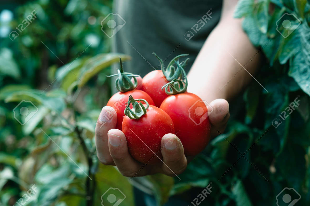 a young caucasian man holds a bunch of ripe tomatoes in his hand freshly collected in a plantation - 173404752