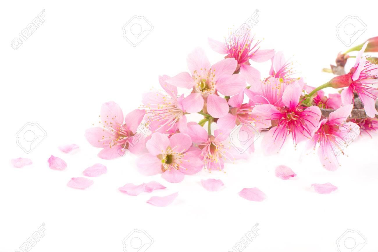 Pink Cherry Blossom Sakura Flowers On White Background Stock Photo