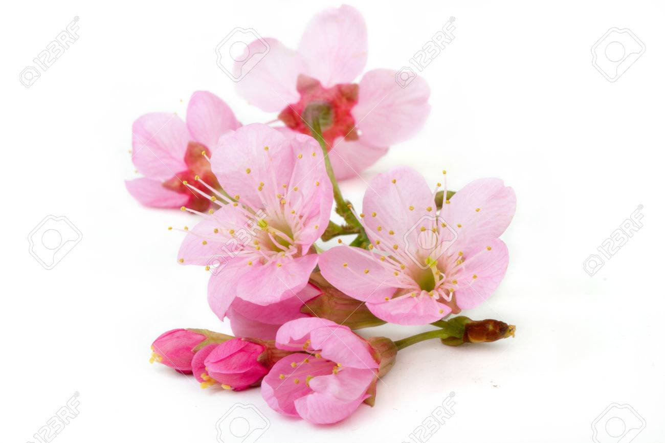 sakura flowers isolated white backgrond - 50967701