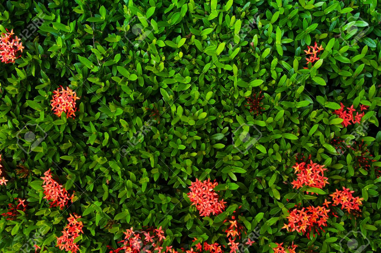 Green Leaf And Red Flower Wall Background At Home Garden Stock Photo Picture And Royalty Free Image Image 84562219