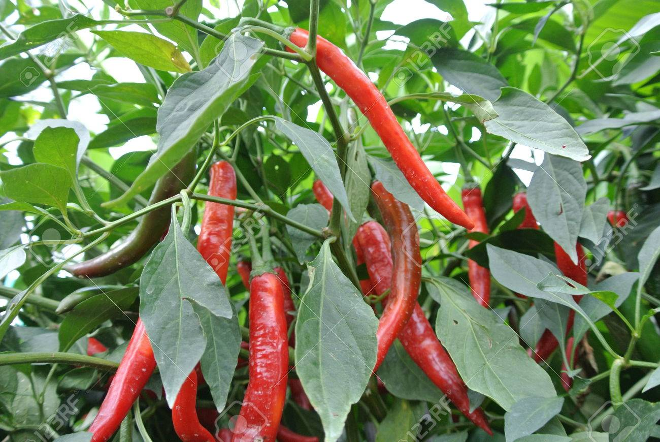 Cili besar in malay or capsicum annum usually used in malay cook cili besar in malay or capsicum annum usually used in malay cook stock photo 59728874 altavistaventures Images