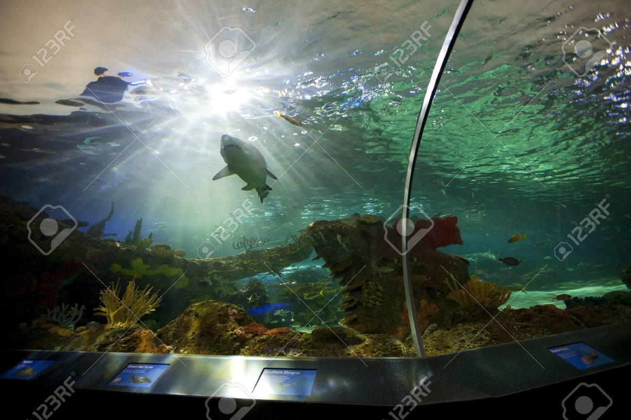 TORONTO- SEPTEMBER 15, 2014: Shark tank at Ripley's Aquarium Canada loacated at the foot of the CN tower in Toronto. - 39701323